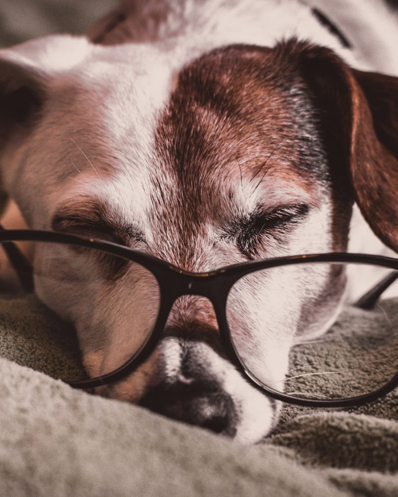 white-and-brown-dachshund-with-black-framed-eyeglasses-1009922